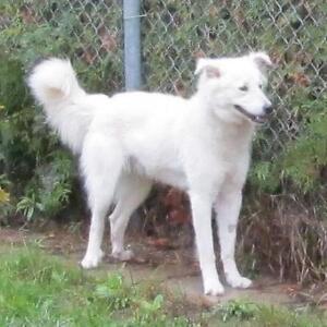 "Young Male Dog - Maremma Sheepdog: ""Leo"""
