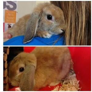 """Young Female Rabbit - Lop Eared: """"Buttercup"""""""