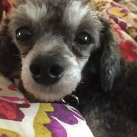 Pet Sitter Wanted - Little poodle looking for a walk and some lo