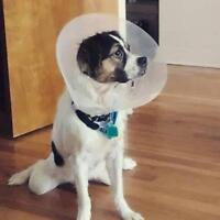 """Adult Male Dog - Jack Russell Terrier-Cocker Spaniel: """"Snuggles"""""""