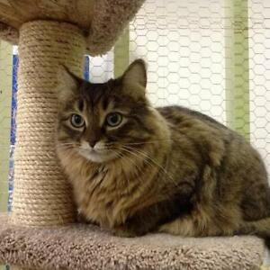"Adult Female Cat - Domestic Long Hair-Maine Coon: ""Jewel"""