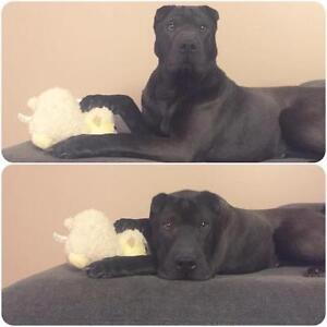 """Young Female Dog - Shar Pei: """"Shy Olive in Edmonton"""" Downtown-West End Greater Vancouver Area image 3"""
