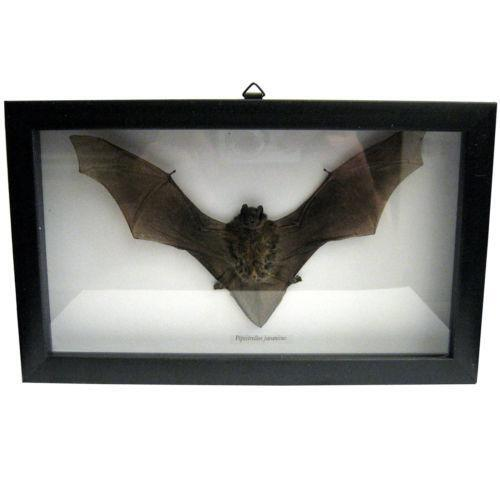 Framed Bat: Animals | eBay