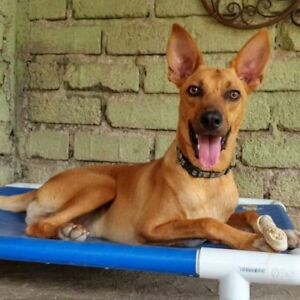 "Adult Male Dog - Shepherd-Basenji: ""Walter"""
