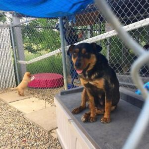 Rottweiler Kijiji In Saskatchewan Buy Sell Save With