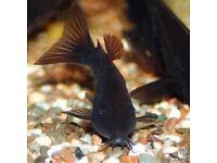 Black Venezuelan Corys for sale - live tropical fish