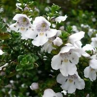 3 Pack (9cm Pots) Shrub - Prostranthera Cuneata Australian Mint Compact Plant - growon shrubs - ebay.co.uk