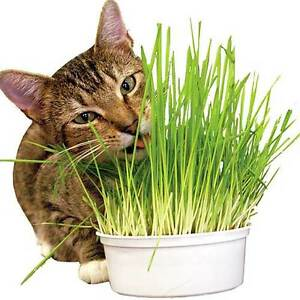 100% Natural Oat Grass Cat Rabbit Pet 90gm - 2,200 seed