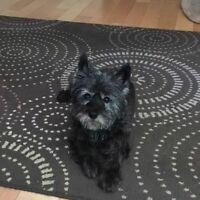 Very sweet Cairn Terrier looking for a Pet Sitter
