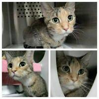 """Young Female Cat - Domestic Short Hair: """"Nala (bonded to Lily)"""""""