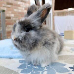 """Adult Female Rabbit - Lionhead: """"Penelope"""""""