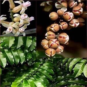 Miva Mahogany x8 plants native tree Eungai Creek Nambucca Area Preview
