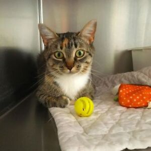 "Adult Female Cat - Domestic Short Hair: ""Clara"""