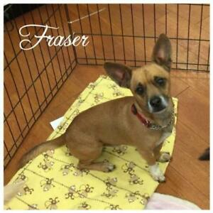 """Adult Male Dog - Chihuahua-Terrier: """"Fraser"""""""