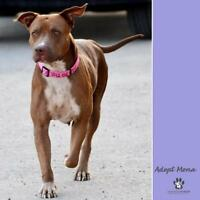 "Adult Male Dog - Pit Bull Terrier: ""Mona"""