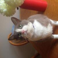 Male Cat - Domestic Short Hair - gray and white-Russian Blue