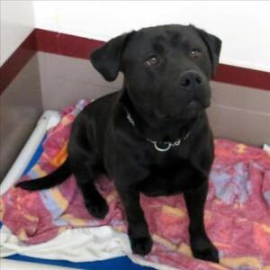 "Adult Male Dog - Pit Bull Terrier: ""Diesel"""
