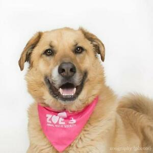 "Adult Male Dog - Labrador Retriever-Shepherd: ""Chance"""