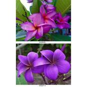 Purple Plumeria Cutting