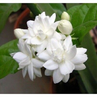5 Arabian Tea Jasmine Seeds Rare Tropical Fragrant Flower While Perennial - Tropical Flower