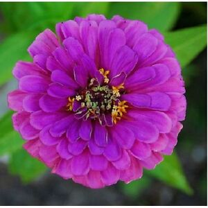 25 graines de zinnia violet zinnia elegans purple prince x221 seeds semilla semi ebay. Black Bedroom Furniture Sets. Home Design Ideas