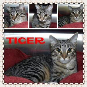 Young Female  - Tabby-Domestic Short Hair