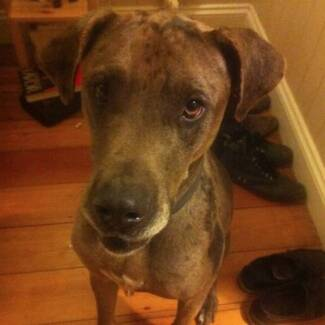 Loveable Lucy - Great Dane X Free to Best Home Oxley Brisbane South West Preview
