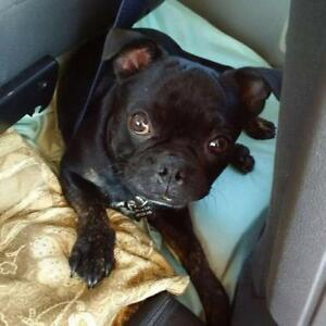 Adult Male  - French Bulldog-Boston Terrier