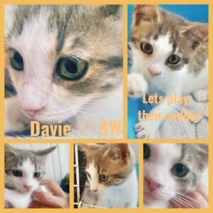 "Baby Male Cat - Tabby: ""Davie 8 wks"""