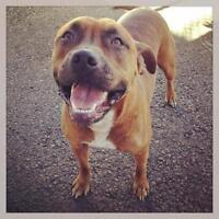 Young Female  - Boxer-American Staffordshire Terrier