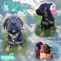 """Baby Male Dog - Pit Bull Terrier: """"Riley"""""""