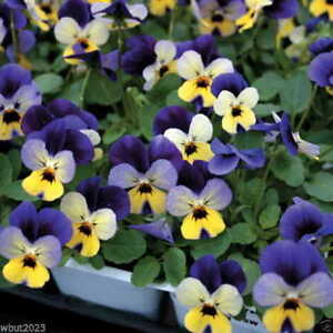 100 Fancy Johnny Jump Up Seeds, (Viola Tricolor / Mixed)