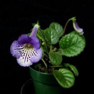 Best Selling in African Violet