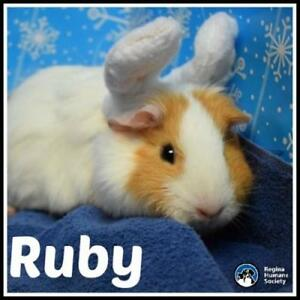 "Young Male Small & Furry - Guinea Pig: ""Ruby*"""