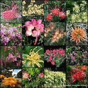 Grevillea Plants
