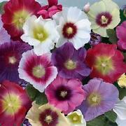 Hollyhock Plants