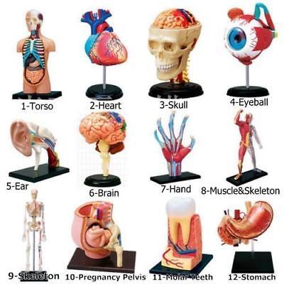 1set 4d Human Torso Brain Heart Ear Hand Anatomy Body Anatomical Teaching Model