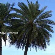 Cold Hardy Palm
