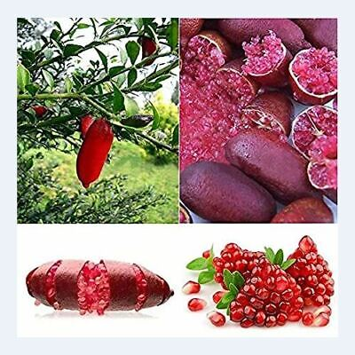 20Pcs Finger Lime Seed Red Fruit Rare Plant Decor for Home Garden Balcony Home s