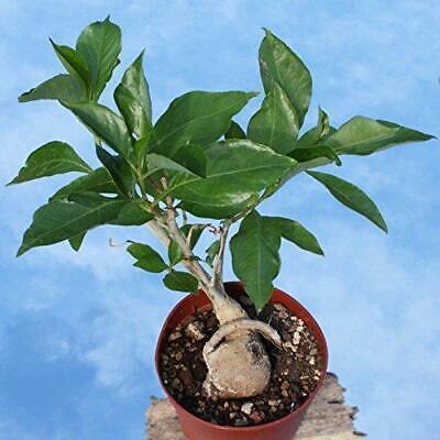 Adansonia digitata Baobab Tree 25 Seeds #Ornamental Baobab Tree Seeds