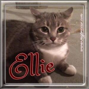 """Adult Female Cat - Tabby (Gray)-Tabby (White): """"Ellie"""""""