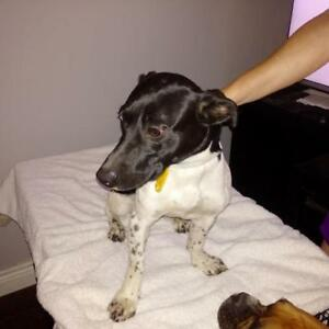 "Young Female Dog - Jack Russell Terrier: ""Roxi"""