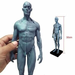 Human Anatomical Anatomy Skull Head Body Model Muscle Bone 30cm Height US Stock