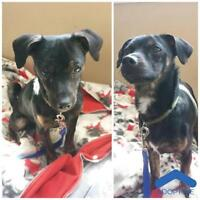 """Young Male Dog - Chihuahua: """"Abner"""""""