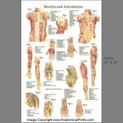 Muscle Poster