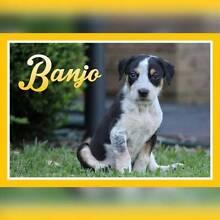 Mastiff X 'Banjo' - Hunter Animal Rescue Elermore Vale Newcastle Area Preview