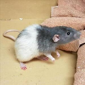 "Young Male Small & Furry - Rat: ""Ben"""