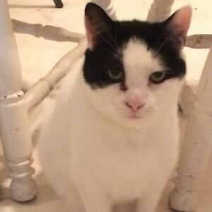 "Adult Male Cat - Domestic Short Hair-black and white: ""Domino"""