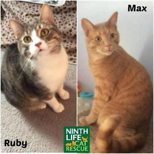 """Adult Male Cat - Domestic Short Hair: """"Max & Ruby"""""""