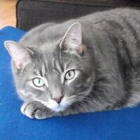 """Adult Male Cat - Domestic Short Hair-gray-Tabby - Grey: """"Wylie"""""""